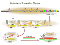 Mechanism of Type V-A Cas Effectors PPT Slide