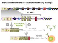 Expression of membrane and soluble forms of heavy chain IgM PPT Slide