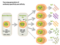 Two-step generation of antibody specificity and affinity PPT Slide