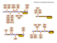 Histone acetyltransferases PPT Slide