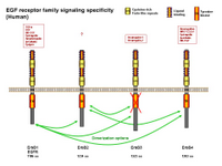 EGF receptor family ligand specificity PPT Slide