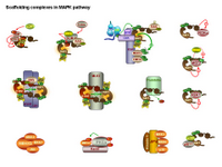 Scaffolding proteins in MAPK pathway PPT Slide