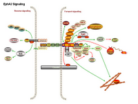 Eph signaling pathways PPT Slide