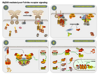 MyD88 mediated post-TLR receptor signaling PPT Slide