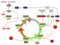 Cell Cycle - CdK regulation PPT Slide