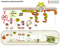 Anti-apoptotic signaling through IGF-R PPT Slide