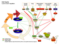 Cell Cycle - Cyclin D and E regulation PPT Slide