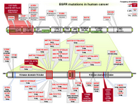 EGFR mutations in human cancer PPT Slide