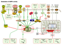 Modulation of AMPK activity PPT Slide