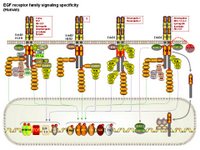 EGF receptor family signaling specificity PPT Slide