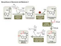 Biosynthesis of serotonin and melatonin PPT Slide