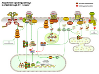 Angiotensin signaling in VSMC via AT1 receptor PPT Slide
