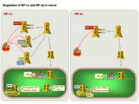 Regulation of HIF-1alpha and HIF-2alpha in cancer PPT Slide