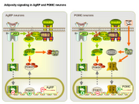 Adiposity signaling in AgRP and POMC neurons PPT Slide