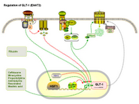 Nuronal - Regulation of GLT-1 expression PPT Slide