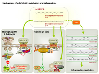 Mechanisms of omega-3 fatty acids in metabolism and inflammation PPT Slide
