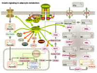 Insulin signaling in adipocyte metabolism PPT Slide