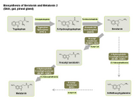Biosynthesis of serotonin and melatonin 2 PPT Slide