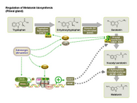 Regulation of Melatonin biosynthesis PPT Slide
