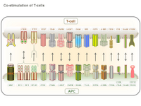 Co-stimulation of T-cells PPT Slide