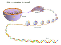 DNA organization in the cell PPT Slide