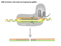 Precise DSB formation with Cas9 and engineered sgRNA PPT Slide