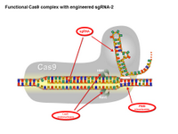 Functional Cas9 complex with engineered sgRNA-2 PPT Slide