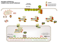 Activation of FOXO1 by oxidative stress PPT Slide