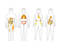 A Human body shapes Toolkit PPT Slide